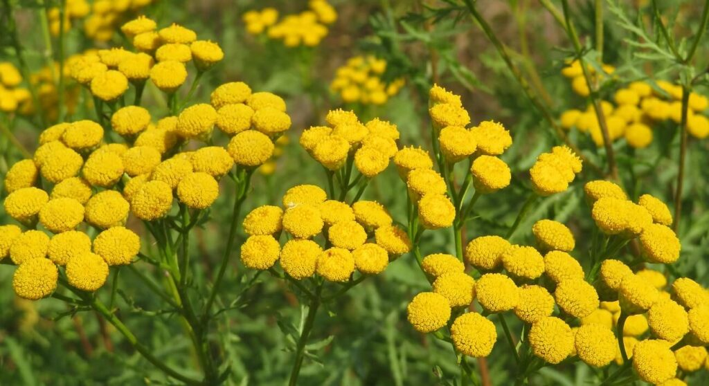 Tansy Flower Meaning, Symbolism, Popular Types, and Uses