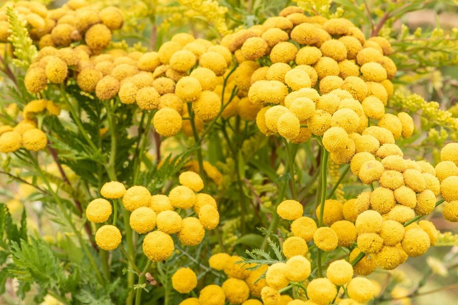 Tansy Flower Meaning & Symbolism