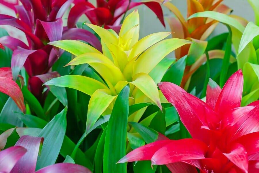The Best Light Exposure for Bromeliad Plants Grown Indoors