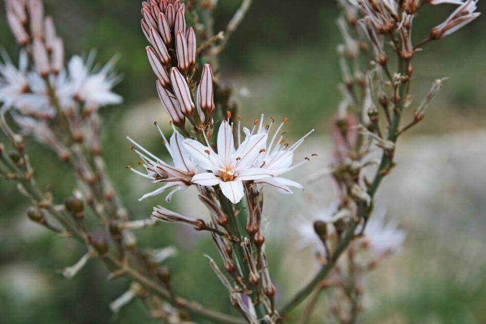 The Cultural Significance of Asphodel Flowers