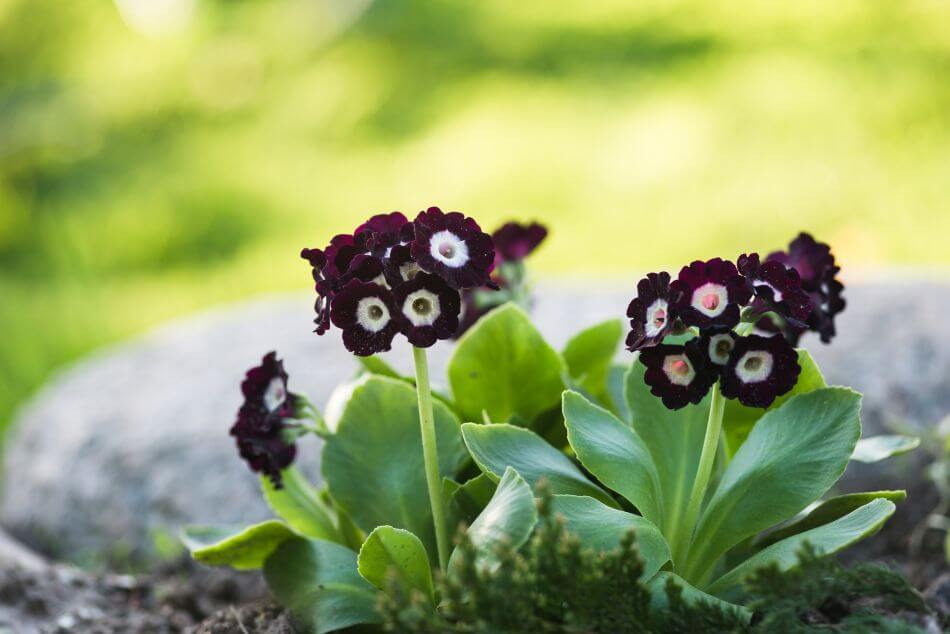The Cultural Significance of Auricula Flowers