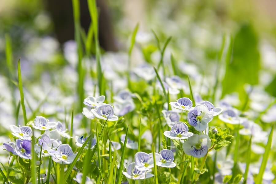 The Cultural Significance of Speedwell Flowers