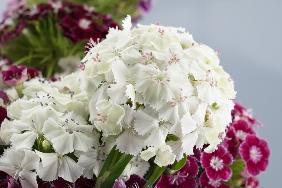 The Cultural Significance of Sweet William Flowers