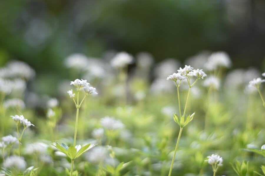 The Cultural Significance of Sweet Woodruff Flowers