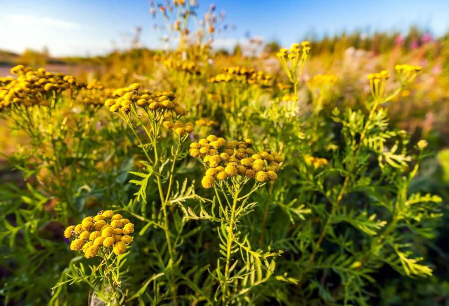 The Cultural Significance of Tansy Flowers