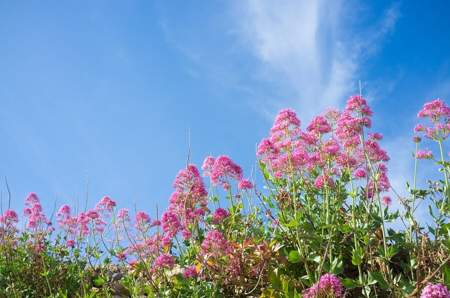 The Cultural Significance of Valerian Plants