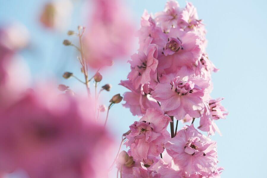 The Delphinium Flower