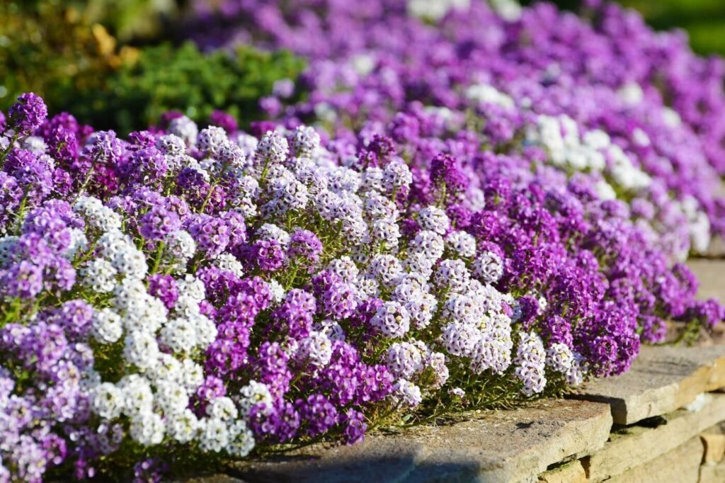 Ultimate Guide to Alyssum Flowers