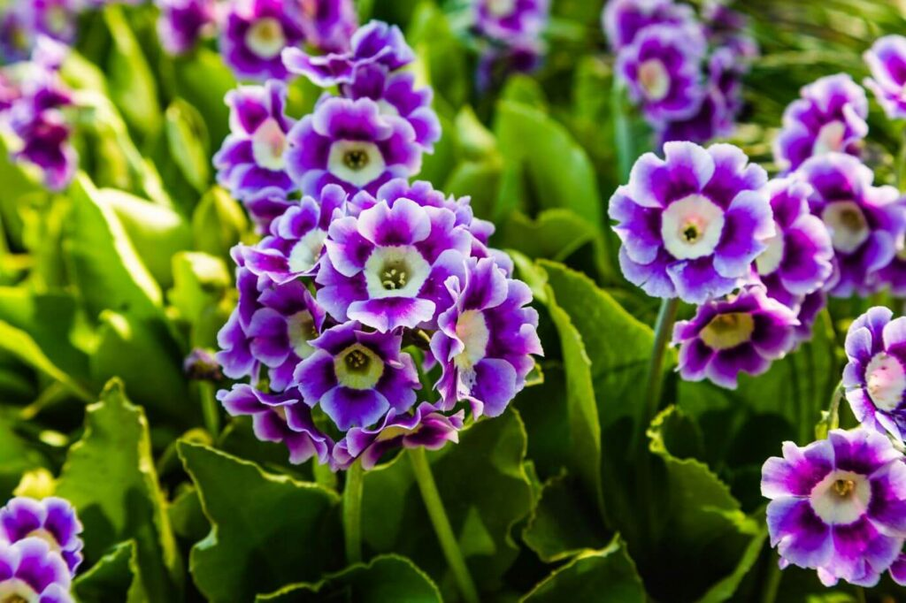 Ultimate Guide to Auricula Flowers (Primula auricula)