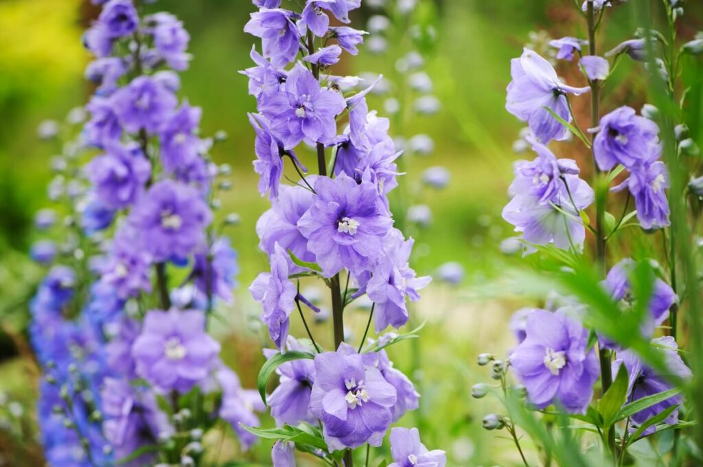 Ultimate Guide to Delphinium Flower Meaning