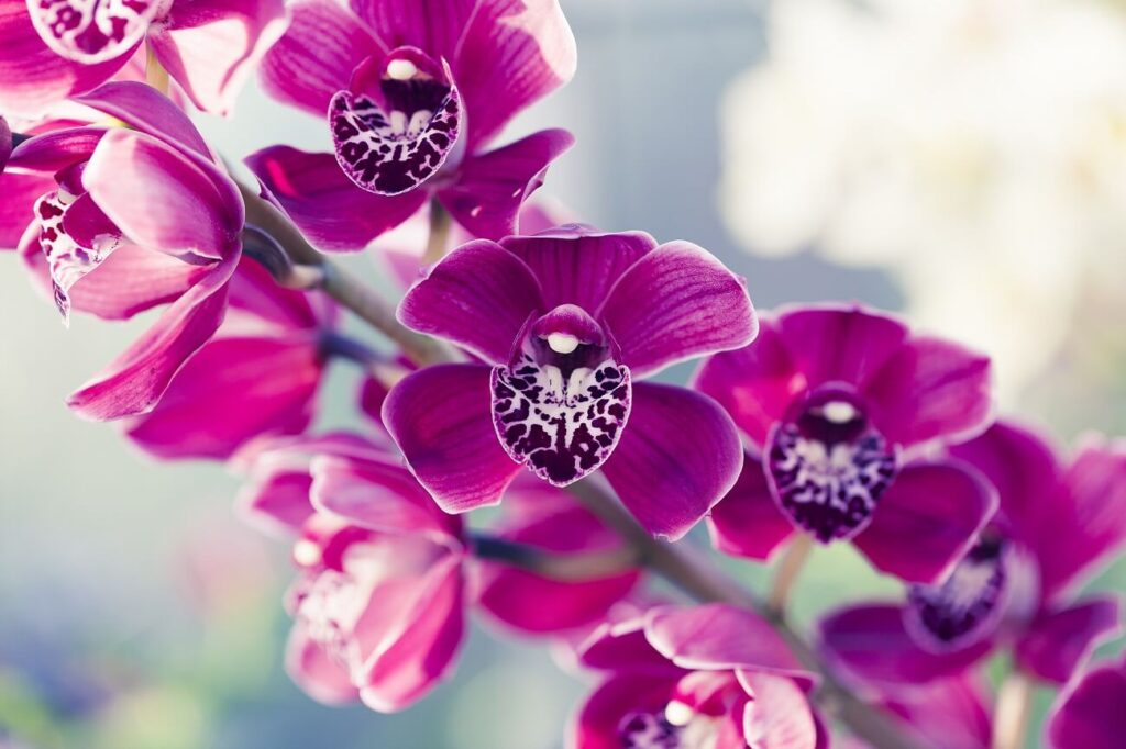 Ultimate Guide to Phalaenopsis Orchids