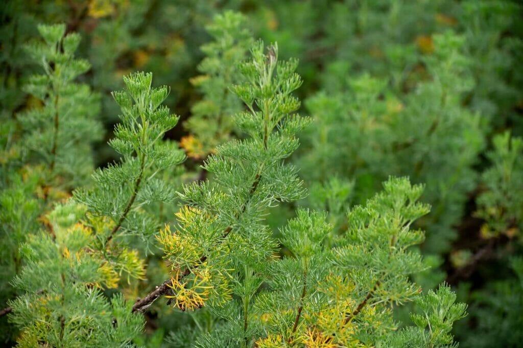 Ultimate Guide to Southernwood (Artemisia abrotanum)