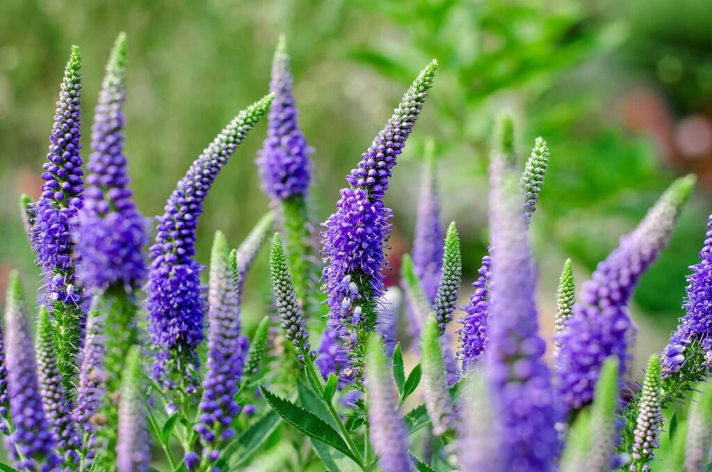 Ultimate Guide to Speedwell (Veronica) Flower Meaning, Symbolism, Types, and Uses