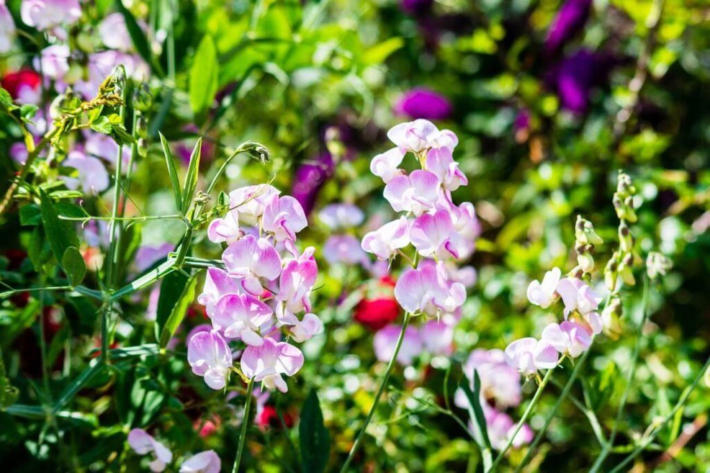 Ultimate Guide to Sweet Pea Flower Meaning, Symbolism, Types, and Uses
