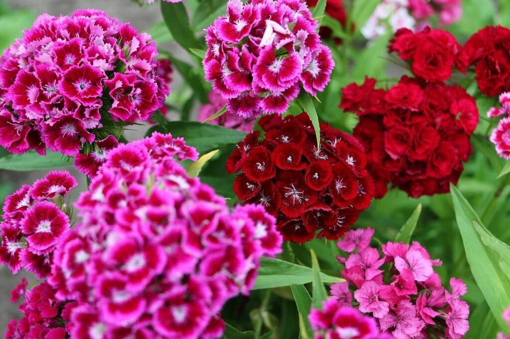 Ultimate Guide to Sweet William Flowers