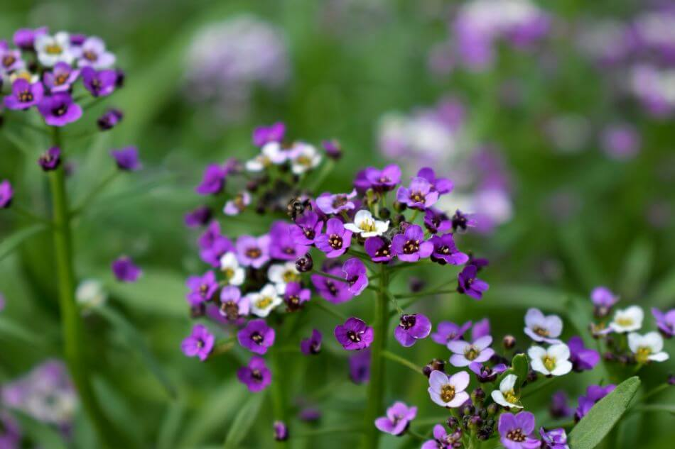 Uses and Benefits of Alyssum Flowers