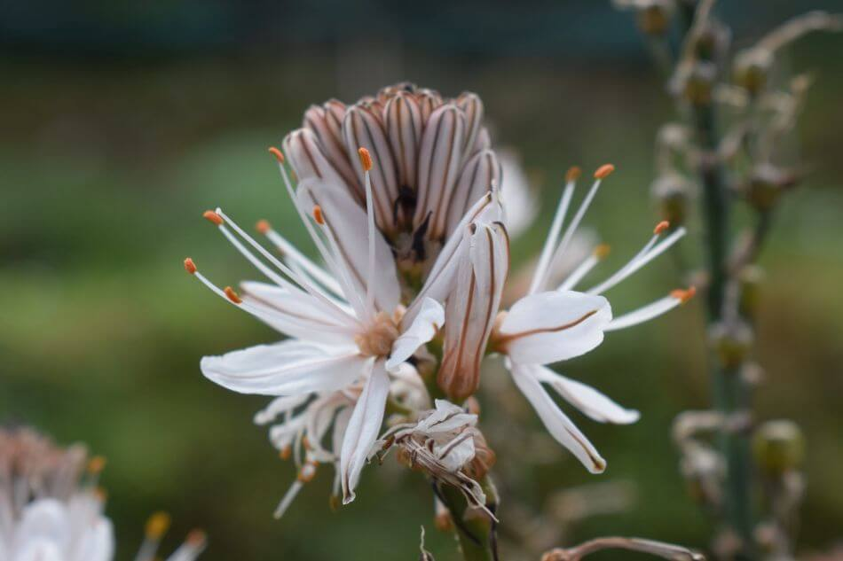 Uses and Benefits of Asphodel Flowers