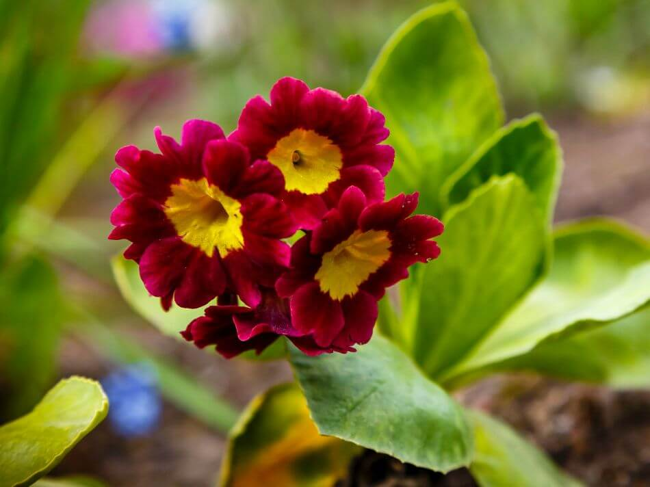 Uses and Benefits of Auricula Flowers