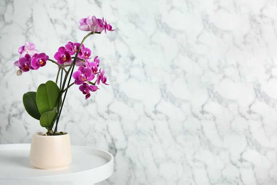 Uses and Benefits of Phalaenopsis Orchids
