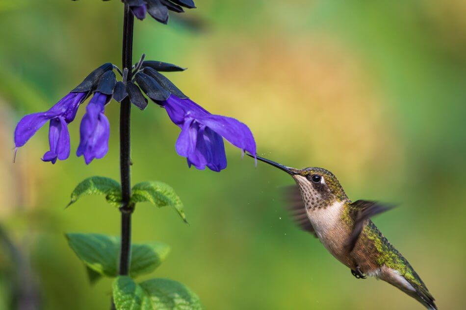 Uses and Benefits of Salvia Flowers