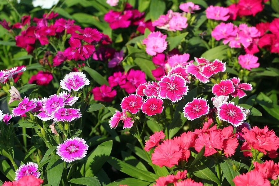 Uses and Benefits of Sweet William Flowers