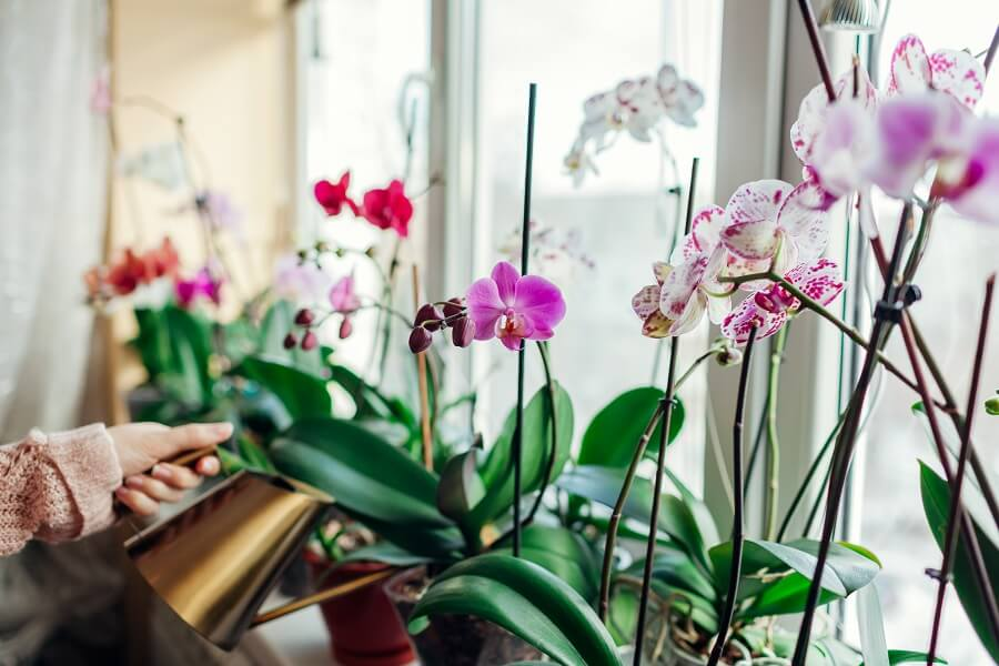 When and How to Water Phalaenopsis Orchids