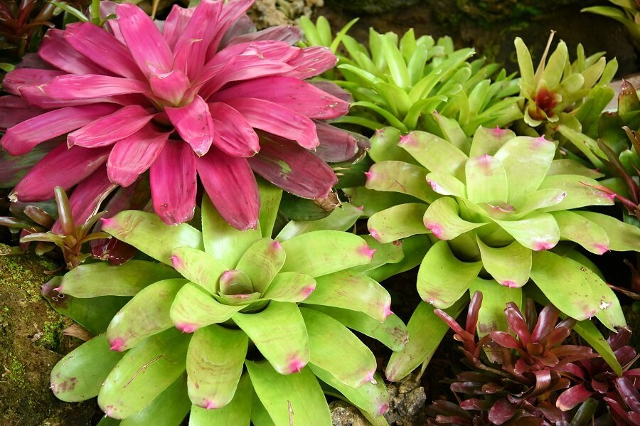 When to Water Bromeliad Plants