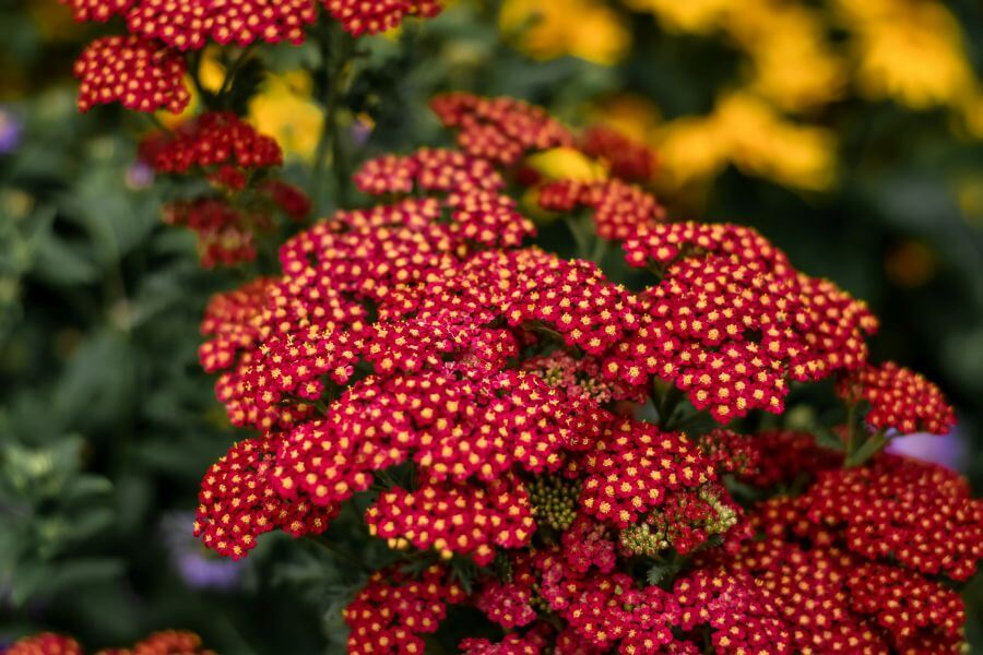 Yarrow in Myth, Folklore, and Witchcraft