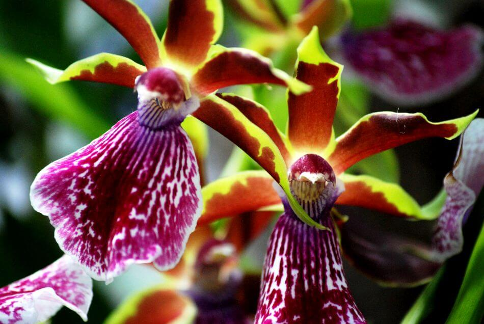 Zygopetalum Orchids (Zygopetalum)