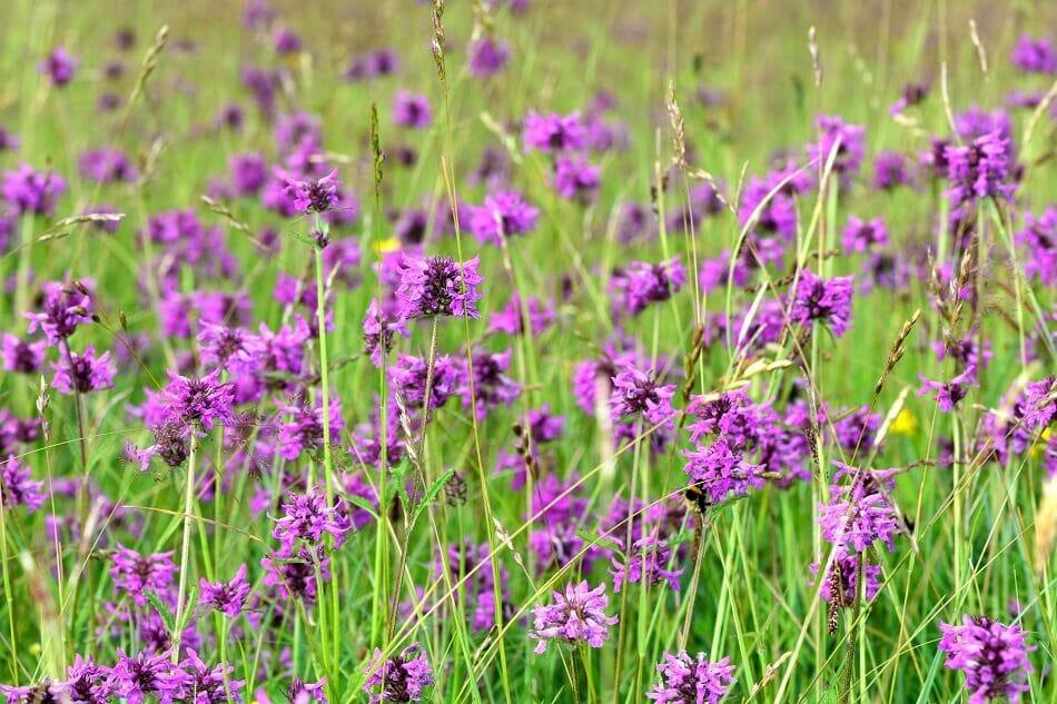 About Betony Flowers (Betonica officinalis)