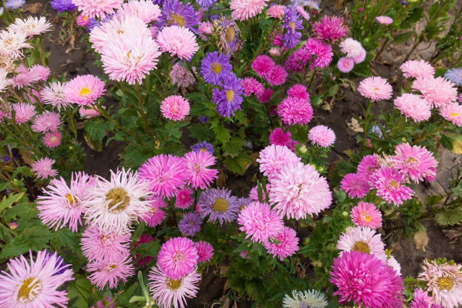 About China Aster Flowers