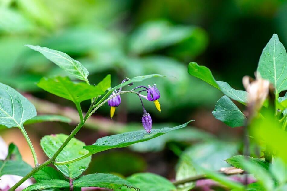 About Deadly Nightshade (Atropa belladonna)
