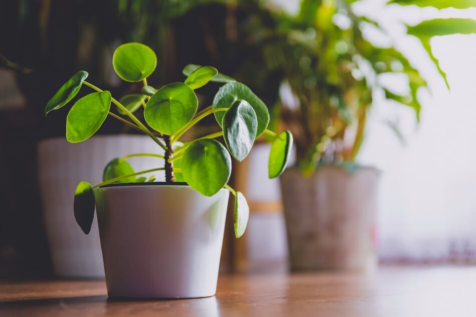 About Pilea Peperomioides