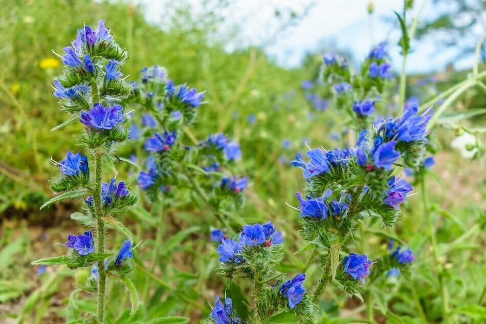 About Viper's Bugloss Flowers (Echium vulgare)