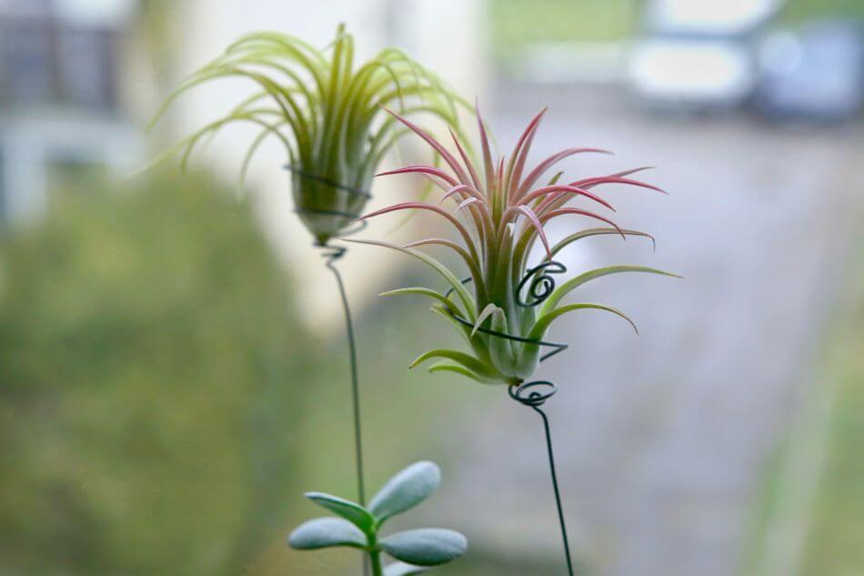 Air Plants (Epiphytes)