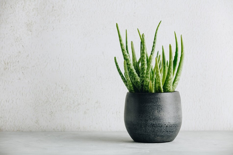 Aloe Vera Plants for Feng Shui