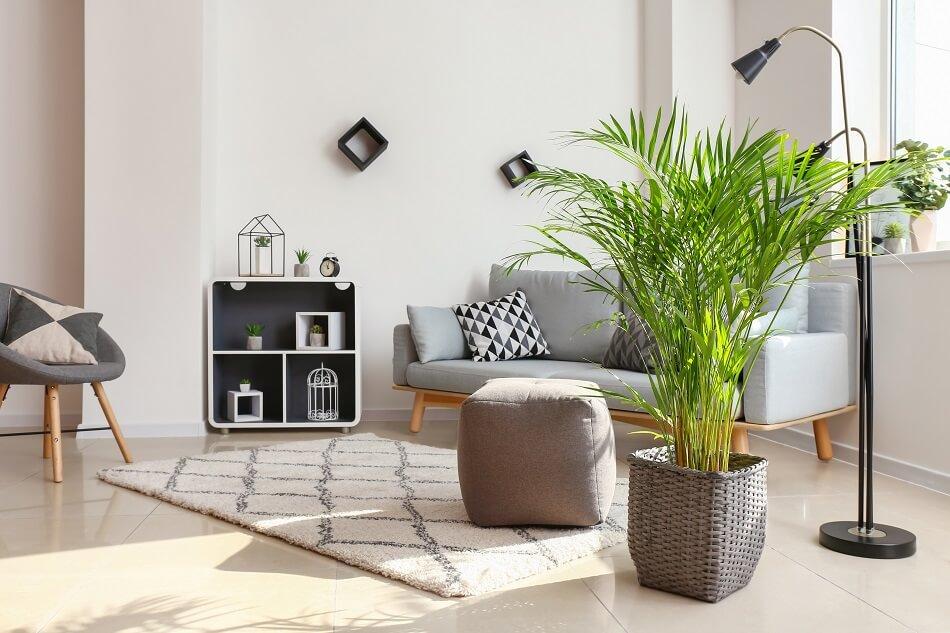 Areca Palm for Feng Shui