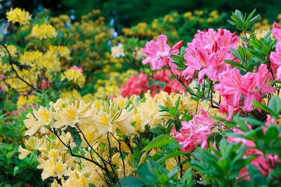 Azalea Flower Botanical Characteristics, Colors, and Fragrances