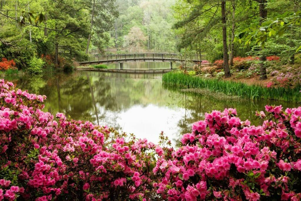 Azalea Flower Meaning, Symbolism, and Uses