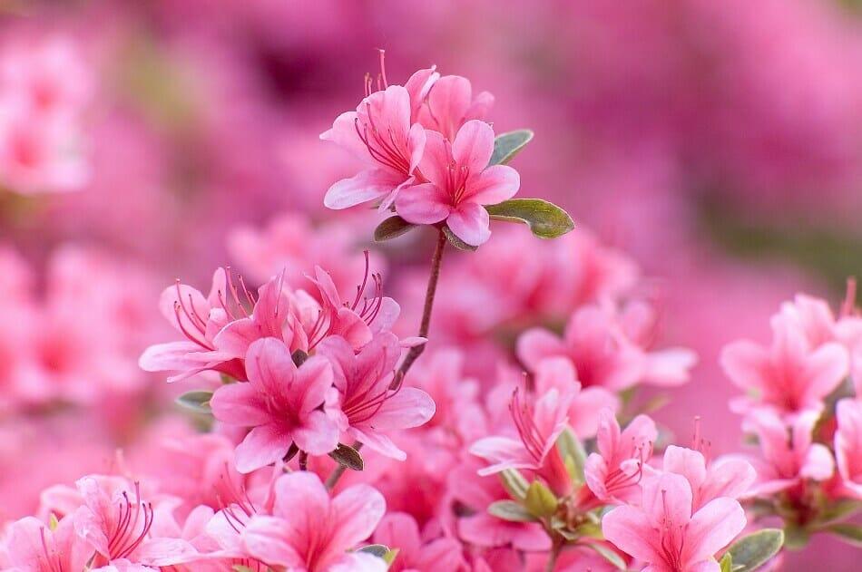 Azalea Flower Meaning & Symbolism
