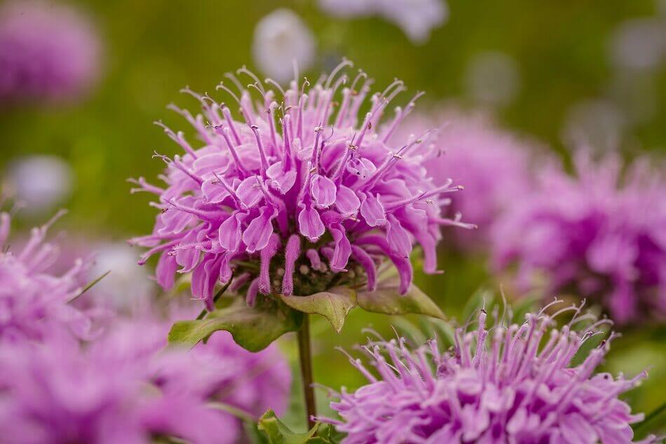 Bee Balm Botanical Characteristics, Colors, and Fragrances