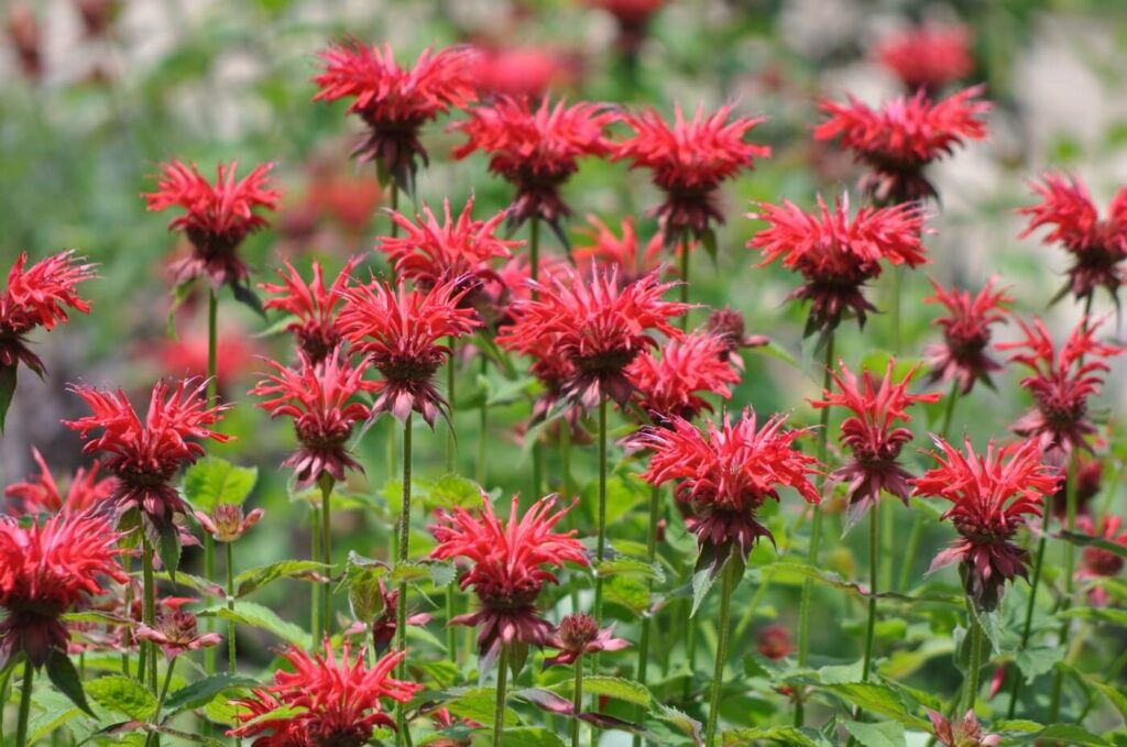 Bee Balm Flower Meaning, Symbolism, and Uses