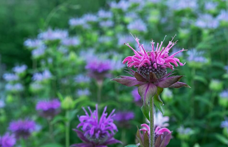 Bee Balm Flower Meaning & Symbolism