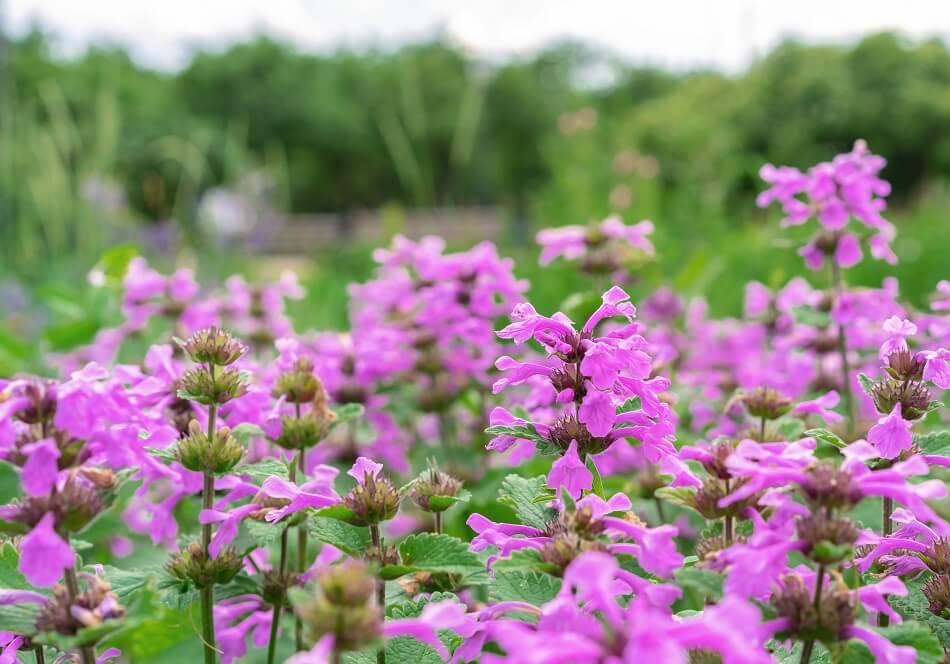 Betony Flower Meaning & Symbolism
