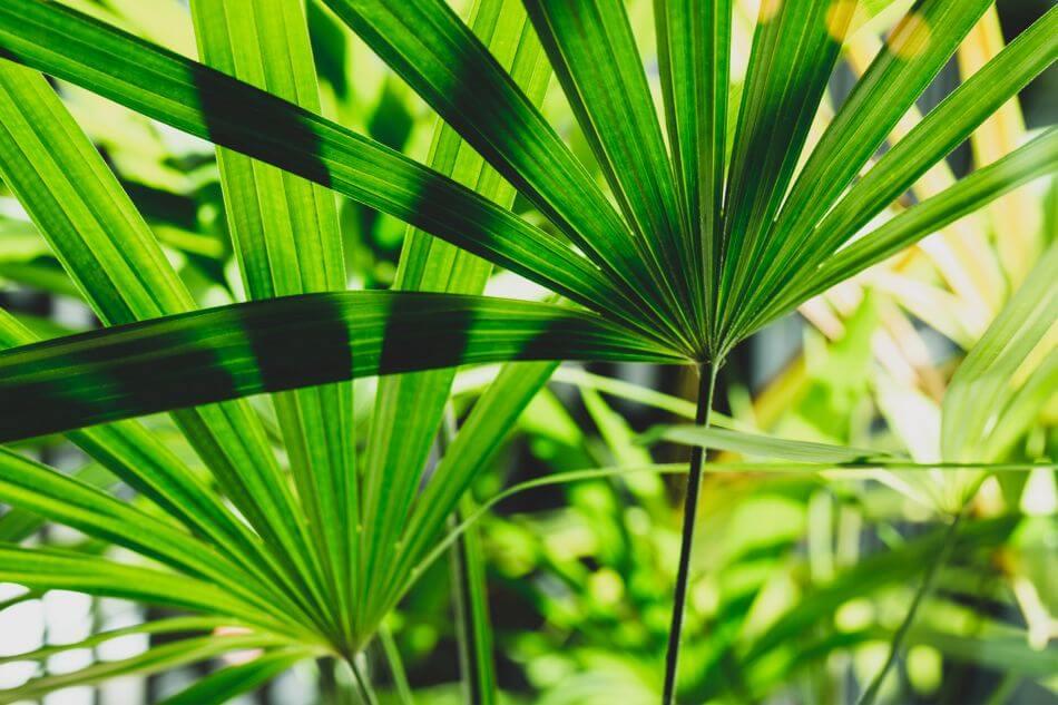 Broadleaf Lady Palm (Rhapis excelsa)