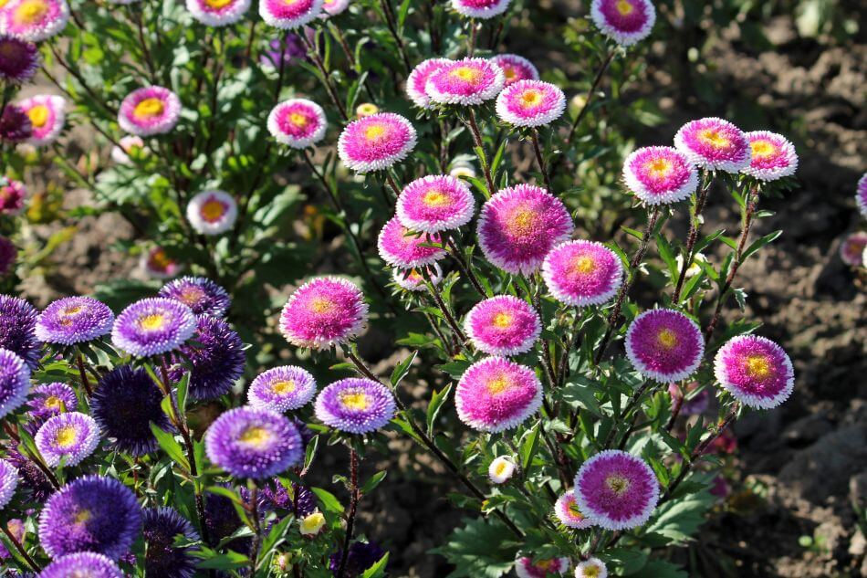 China Aster Flower Meaning & Symbolism