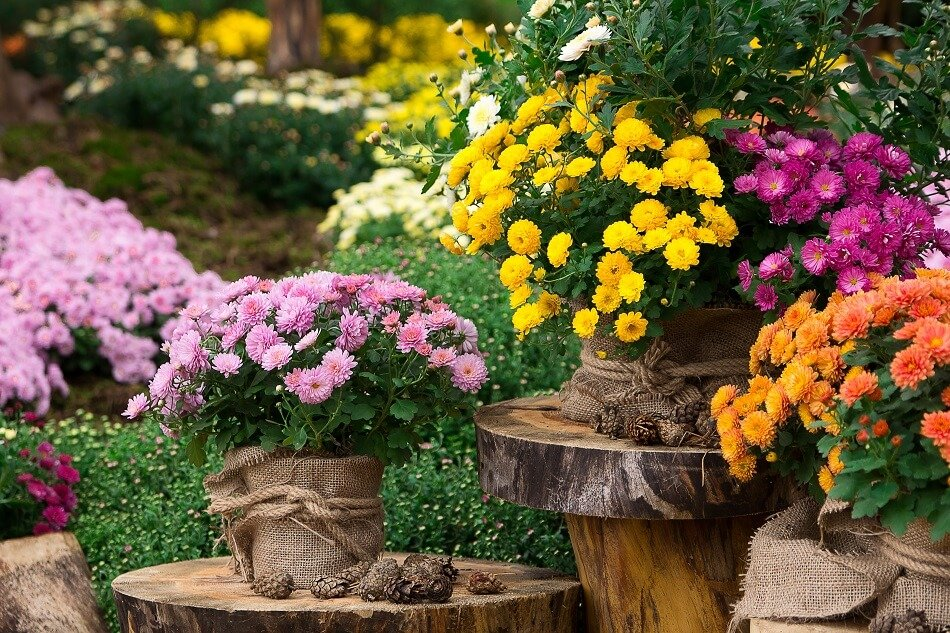 Chrysanthemums Best Plants for the Front Door in Feng Shui