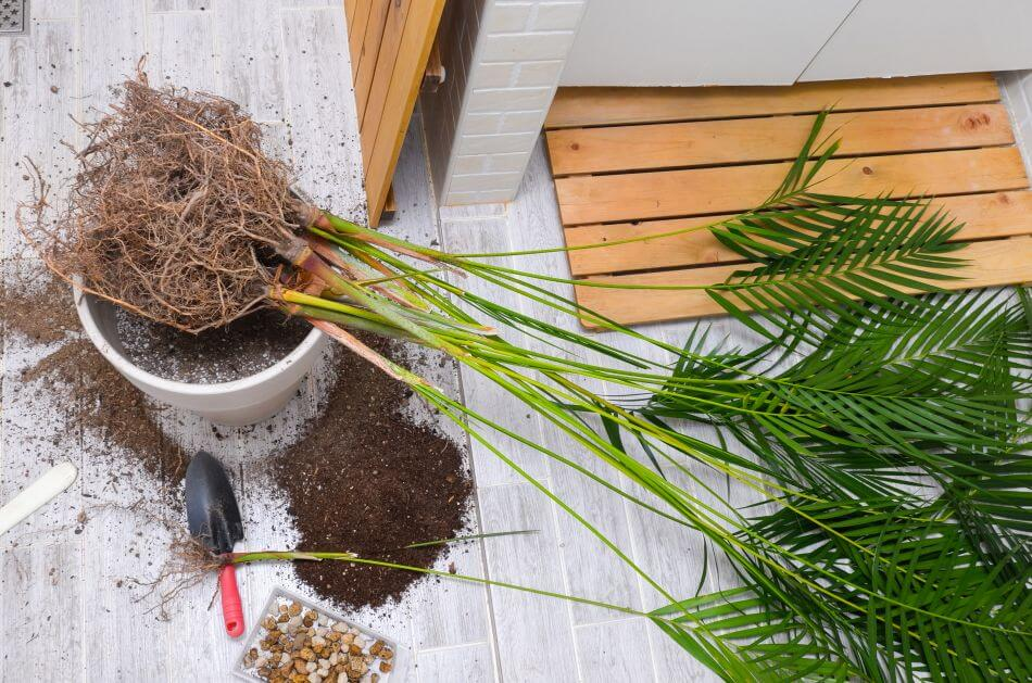 Common Areca Palm Problems & How to Treat Them