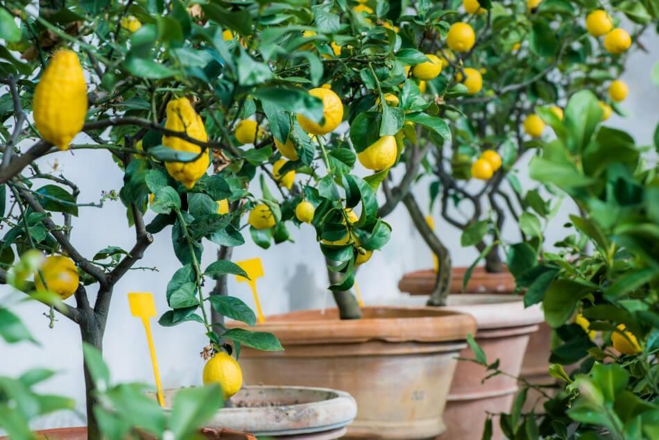 Do All Citrus Trees Need the Same Soil