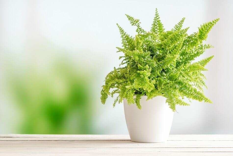 Ferns Best Plants for the Front Door in Feng Shui